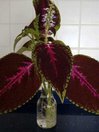 Plantas interiores - Cólios (mudas)
