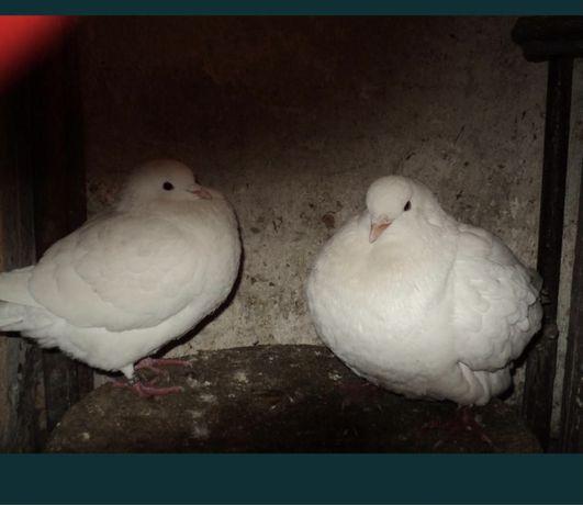 Gołębie kingi