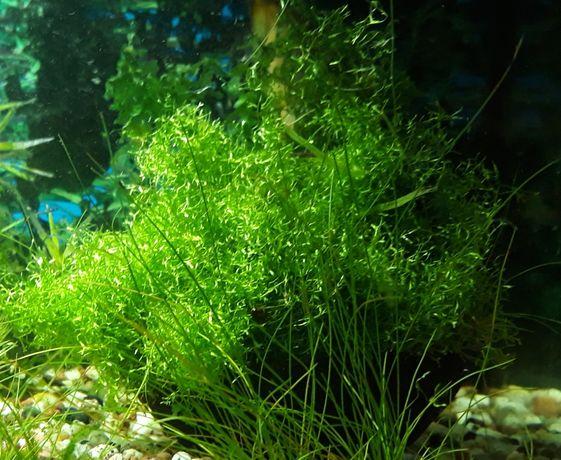 Wgłębka roślina akwariowa dla początkujących