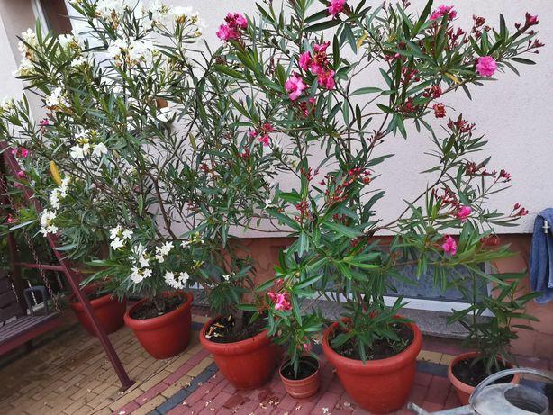 Oleander różowy pełny