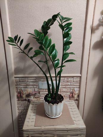 Замиокулькас. Комнатные растения. Цветы.