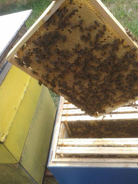 Przezimowane rodziny pszczele, odkłady 100 szt, matki