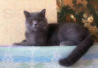 0Вязка. Шотландец, прямоухий котище голубого окраса
