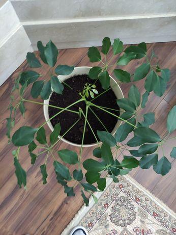 Sprzedam dużą roślinę Szeflera