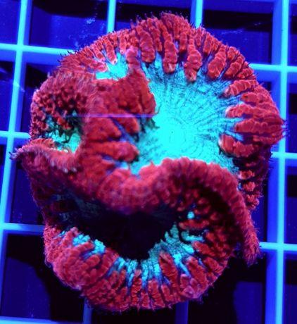 Akwarium morskie - Blastomussa wellsi