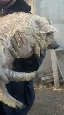 Продам поросят венгерской пуховой мангалицы