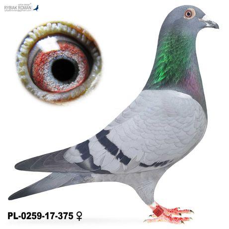 Młode 2021 para 41 Bula-Latacz Wnuczka Jaarling gołąb gołębie pocztowe