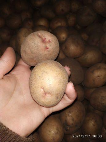 Картопля насіннєва бородянка