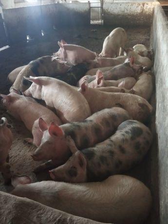 Продам свинину(битою або живою вагою)