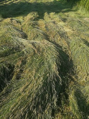 Oddam trawę, świeżo skoszona