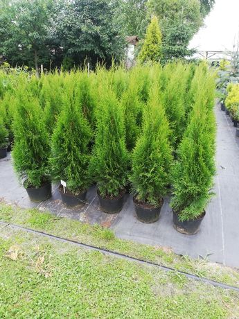 Tuja Thuja szmaragd 100cm Transport do klienta