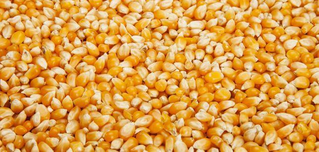 kukurydzę sprzedam transport gratis