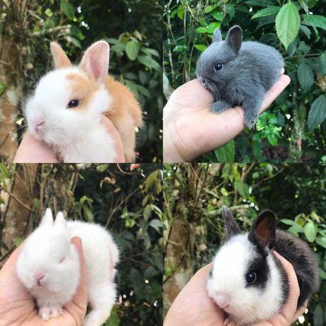 kit coelhos anões toy vacinados e desparasitados
