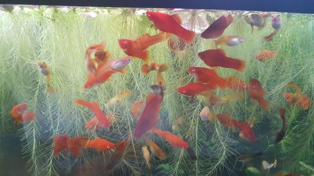 Rybki Mieczyki czerwone - piękne również z oczami albinosa