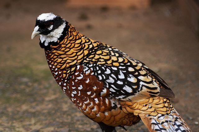 Королевские фазаны