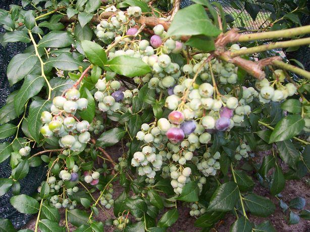 Borowka amerykanska ,duza ,owocujaca wysoka 100cm