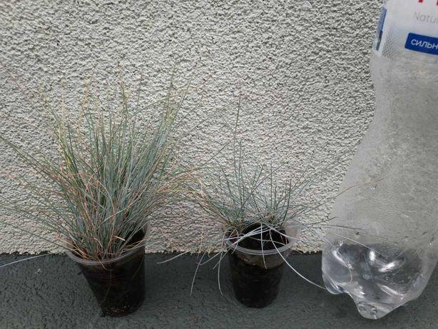 Овсянница голубая, сеянцы, 3-5 растений