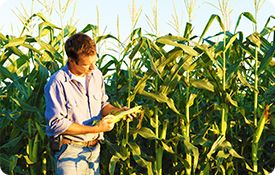 Семена кукурузы трансгенный гибрид,насіння кукурудзи ПОТЕНЦІАЛ 25 ТОН