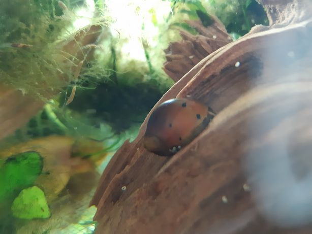 Ślimak neritina red spotted