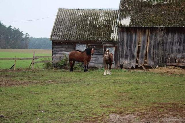 Sprzedam konie zimnokrwiste klacze zrebicę kon