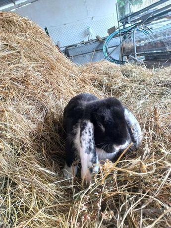 Продаем чистопородных (Французкий баран) кроликов