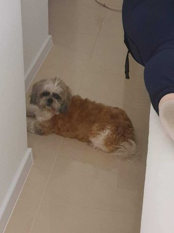 Znaleziono psa shitzu