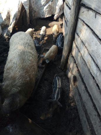 Поросята свинки Венгерська мангалица