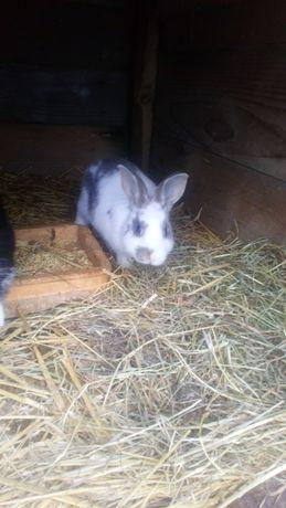 3 Młode króliki samce i samiczki