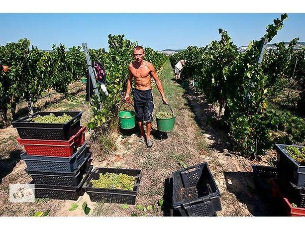 Виноград Винный Технический