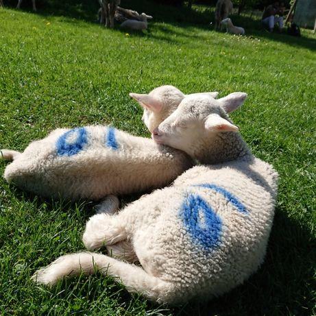 Owce kotne jagnieta rasa olkuska