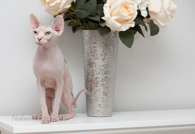 Monique Sugestia * PL dorosła kotka do adopcji