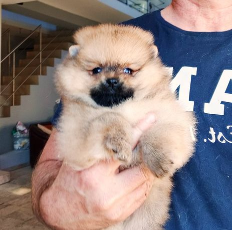 Szpic miniaturowy ,Pomeranian ,Piesek Boo,do odbioru Miot B