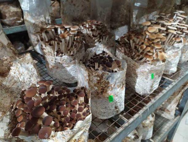 Блок для выращивания Опёнок Тополиный (Агроцибе)