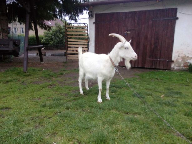 Sprzedam koze dwu letnią