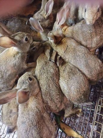 30 coelhos bravos