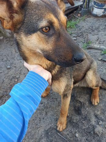 Ищем новых хозяев! Найдена собака в Подгороднем (девочка, метис)