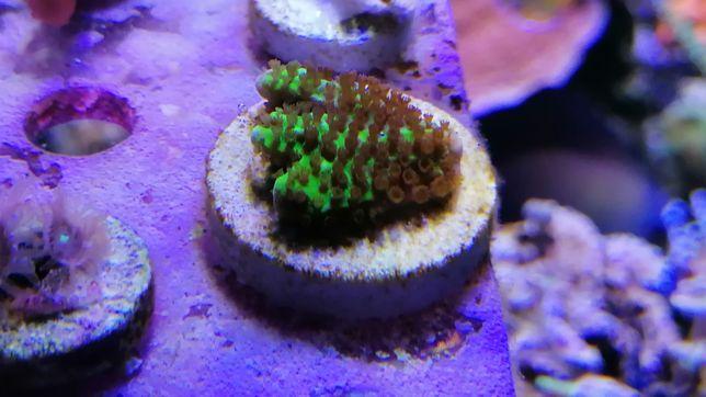 Corais SPS / LPS