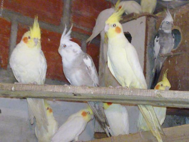 Caturras pares feitos com 1 ano amarelas e face branca branca