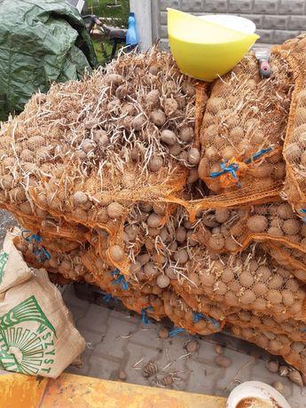 Ziemniaki odpad widoczne na foto 5 gr/kg