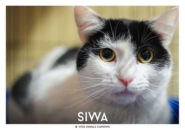 """Siwa - koteczka """"w czapeczce"""" czeka na domek! OTOZ Animals Ciapkowo"""