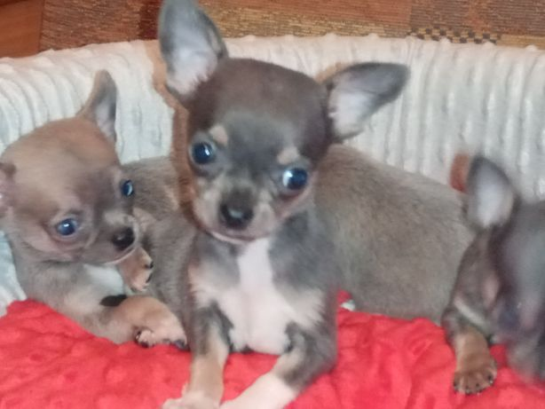 Chihuahua -mini jedyne takie na olx