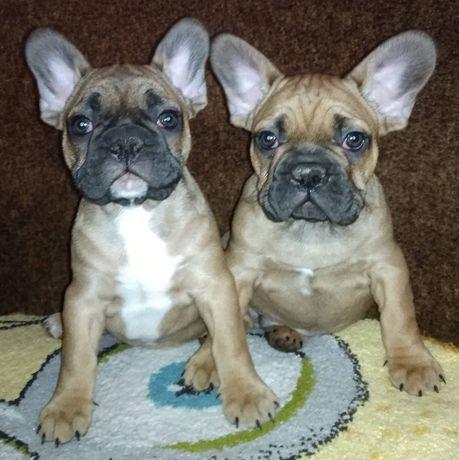 Роскошные два мальчика французского бульдога!