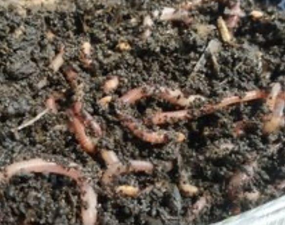 Продам Каліфорнійські черви породи старатель