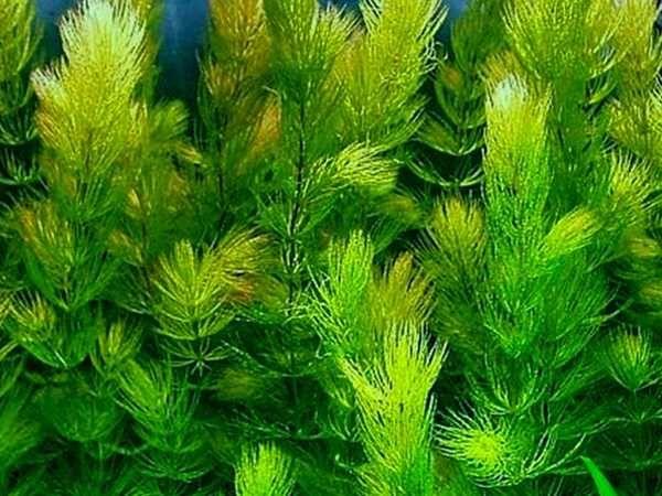 30 plantas para aquário