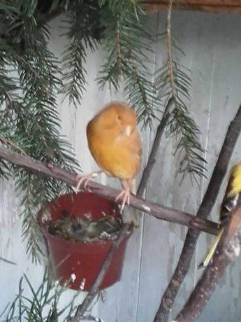 Samica kanarka gotowa do lęgów.