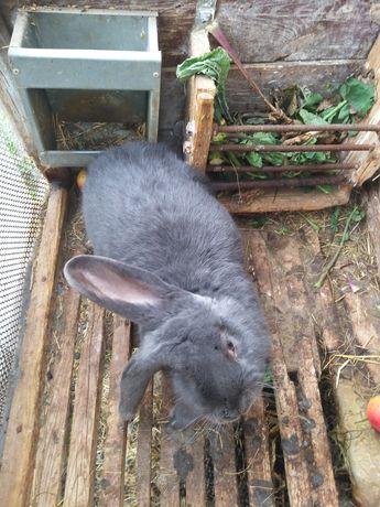 Królik samiec belg-baran  sprzedam królik