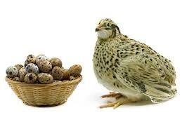 Jajka od przepiórki jajka przepiórcze