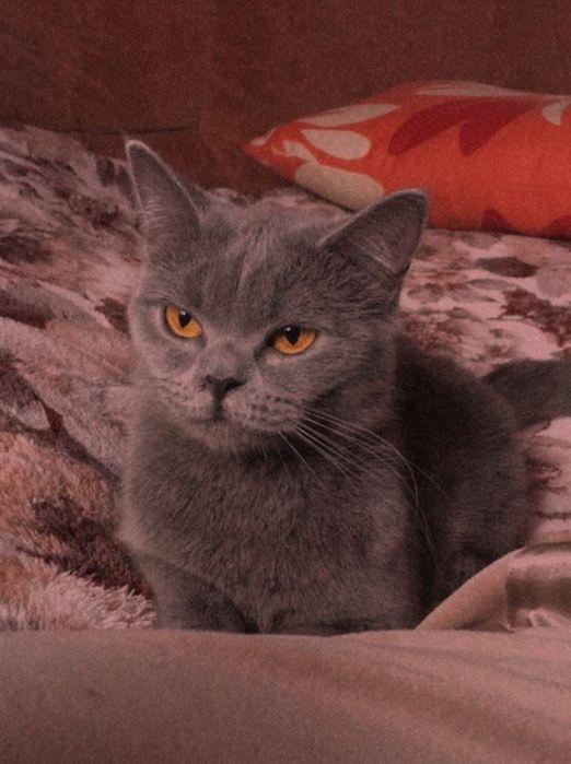 Отдам породистых кошек Затока - изображение 1