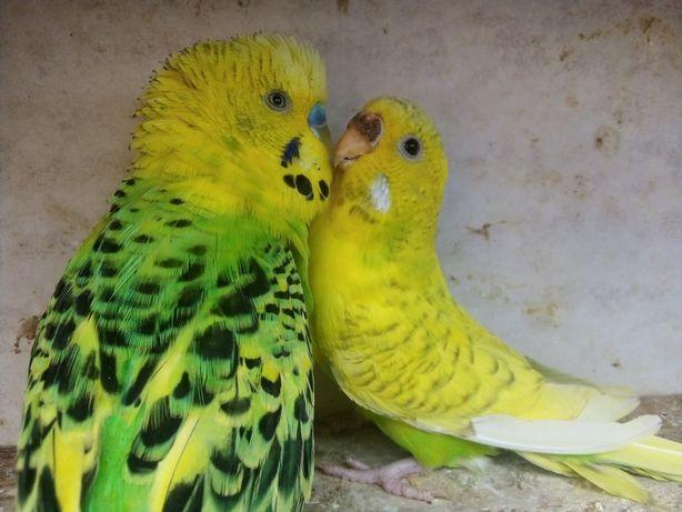 Parka Papug Falistych