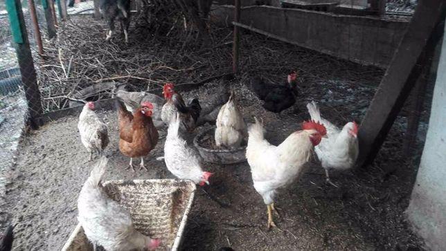 .Инкубационные яйца домашних кур